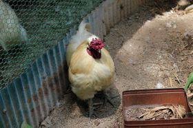 ペットの鶏です