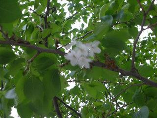 迷い咲きの桜